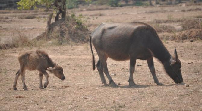 Buffles 670x370 - Reconversion d'une carnivore : passer à un régime flexitarien