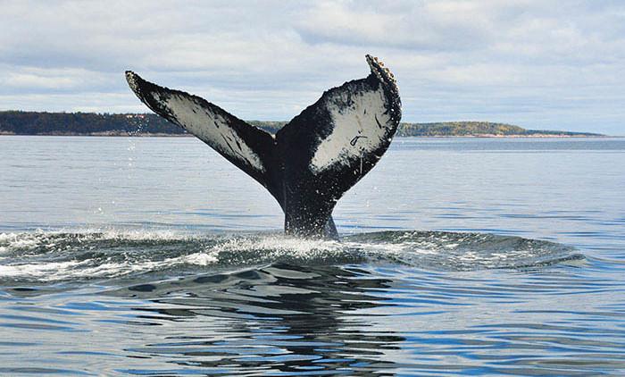Tadoussac: baleine à bosse 6