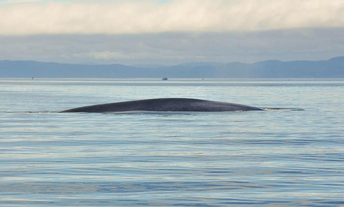 Tadoussac: baleine bleue