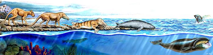 Evolution baleine