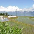 Rizières Lac Toba