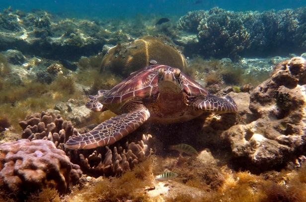 Les philippines: tortue