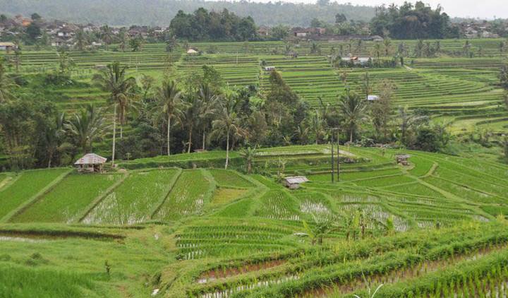 Agriculture durable : rizières 2