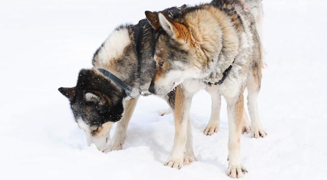 20140225 chiens traineau 013 670x370 - Chien de traîneau dans les Laurentides