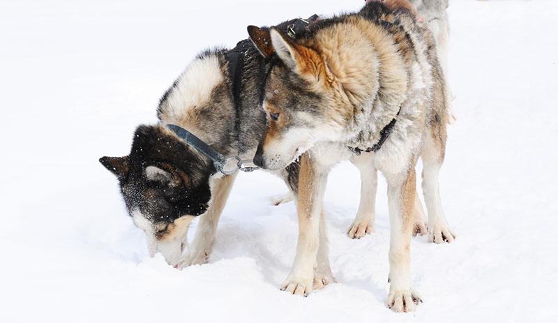 20140225 chiens traineau 013 - Chien de traîneau dans les Laurentides