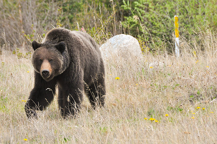 Joggeur rencontre ours egare