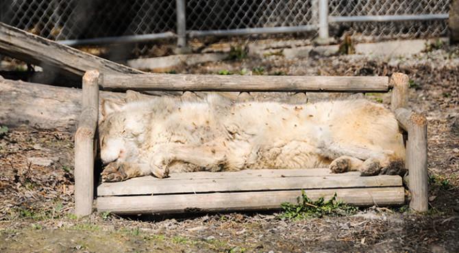 20140520 Rocheuses et Vancouver 187 670x370 - Conservation du loup gris au Canada