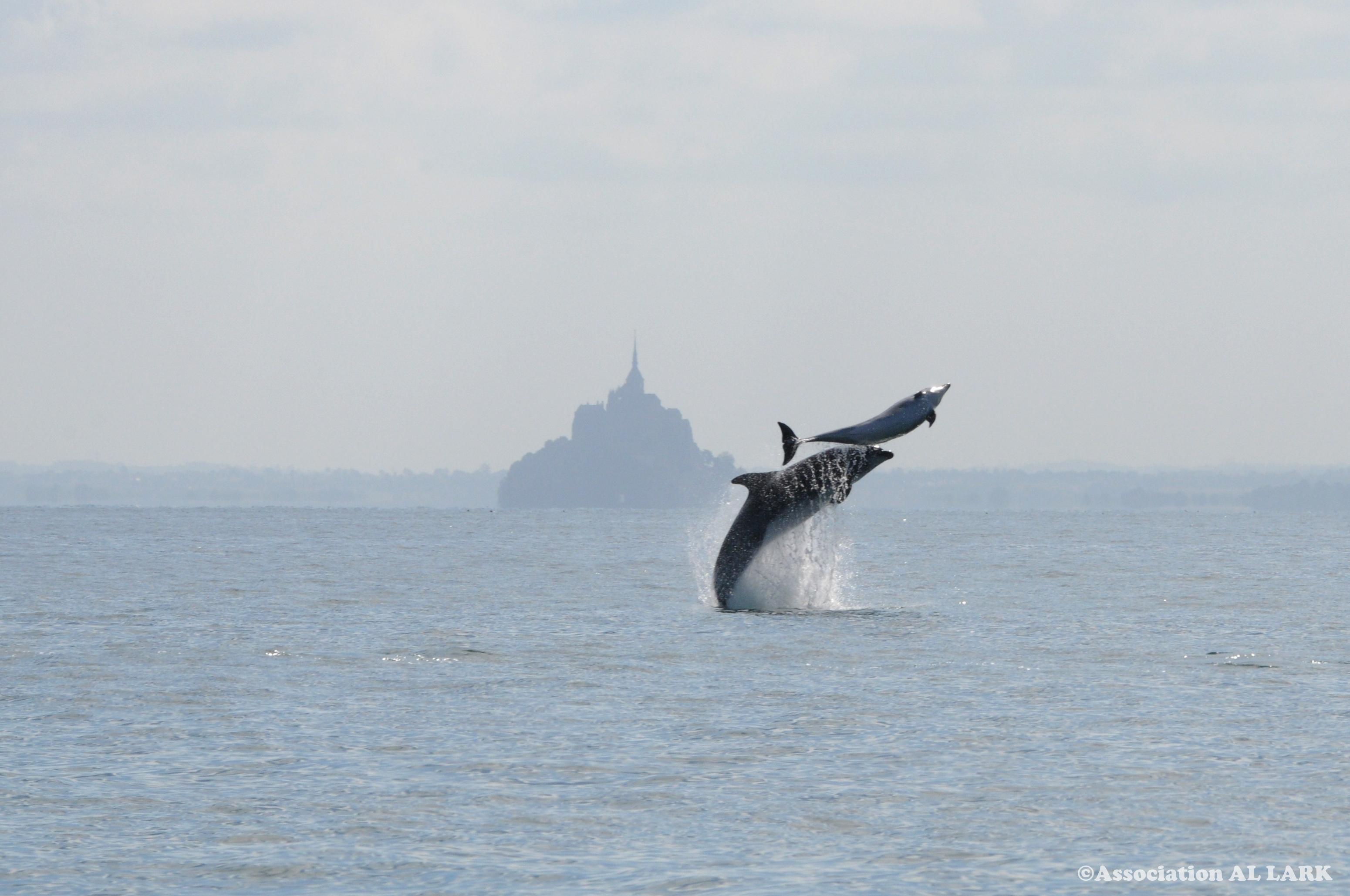 Le saut de lArchange ©Al lark - A la recherche des Dauphins en Bretagne avec Al-Lark