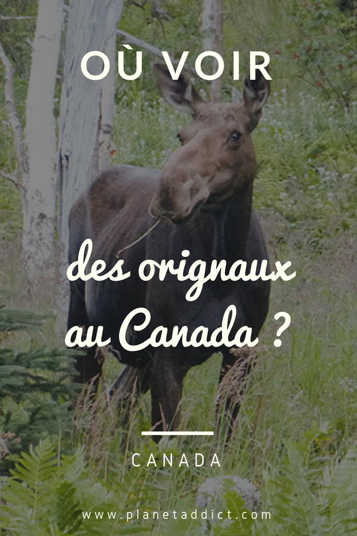 Pinterest Orignaux - Où voir des orignaux au Canada : la Gaspésie